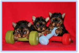 Well Tamed Yorkshire Terrier Puppies